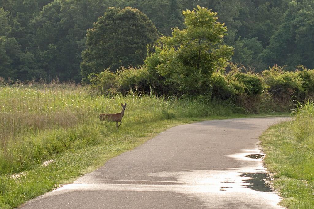 Deer crossing the trail