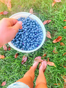 Bucket of blueberries at Wye Mountain. A list of great recipes with blueberries.