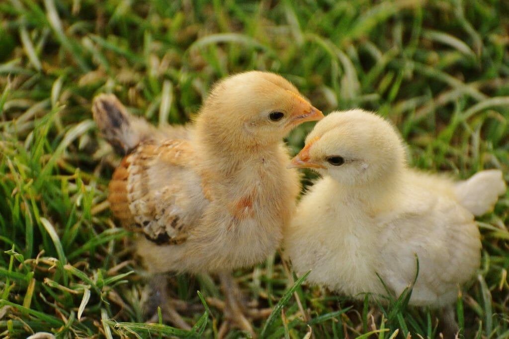 Close up of Two yellow chicks standing beside one another on the grass