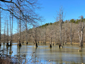 cypress trees in the water at the Little Maumelle River near the William Kirsch Preserve