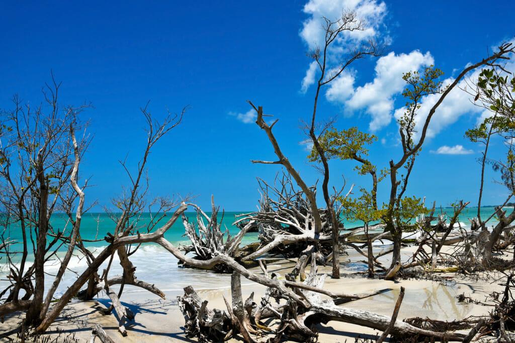 Driftwood on beer can island beach on longboat key near anna maria island.