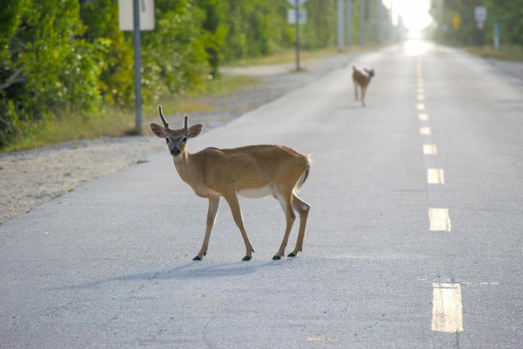 Deer on the roads in the Florida Keys