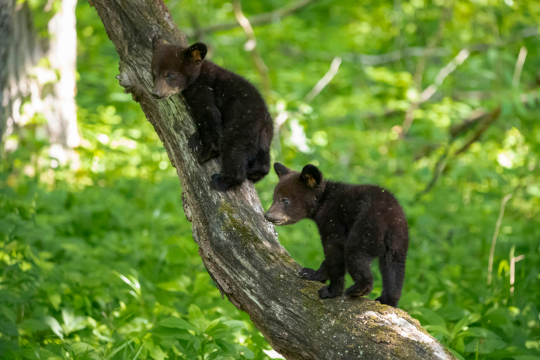 Bears in the Great Smoky Mountains State Park